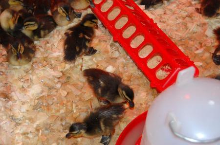 baby-ducks-1
