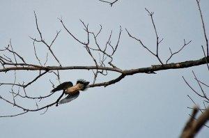 dove-flight