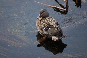 female-duck