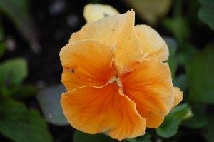 orange-pansy