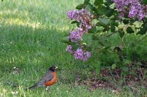 Robin-lilac