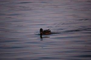 duck-2