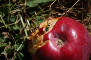 apple-wasps